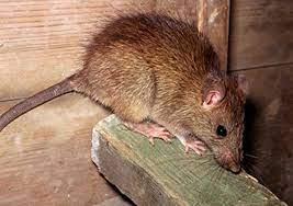 از-بین-بردن-موش-فاضلاب